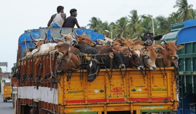 Cows being transported