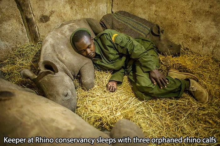 Keeper resting with young rhinos